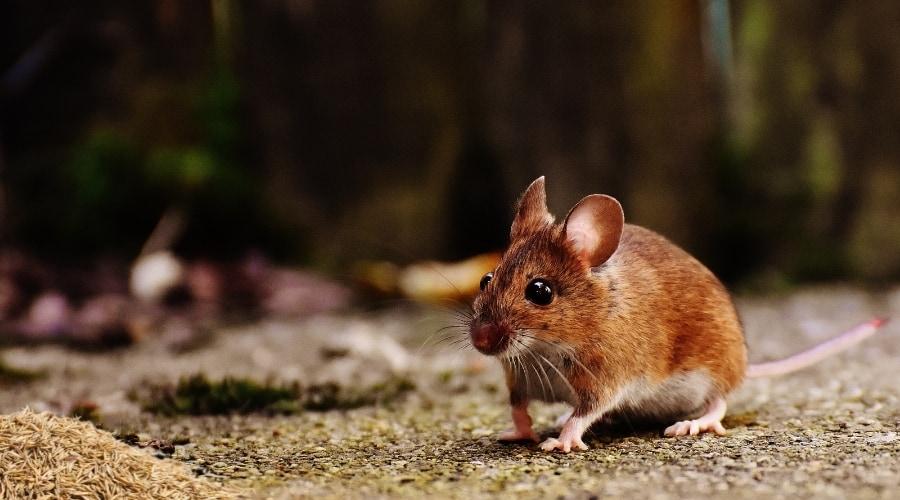 Do Mice Eat Grass Seed