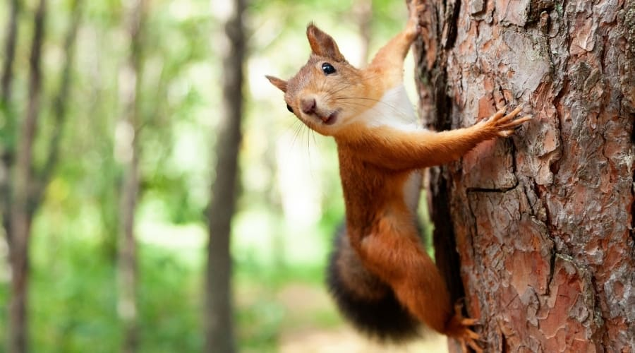 Do Squirrels Fall From Trees
