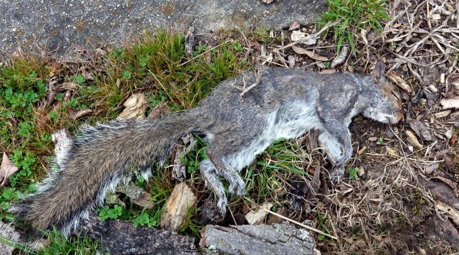 Where Do Squirrels Go To Die